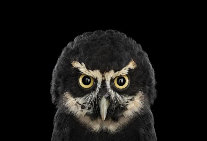 Brad_Wilson_Spectacled_Owl