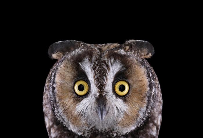 Brad_Wilson_Long_Eared_Owl