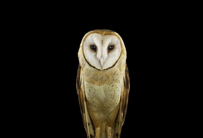 Brad_Wilson_Barn_Owl