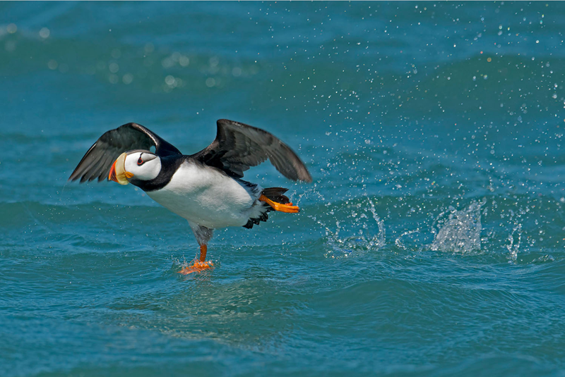 Horned Puffin. Photo- Aaron Baggenstos