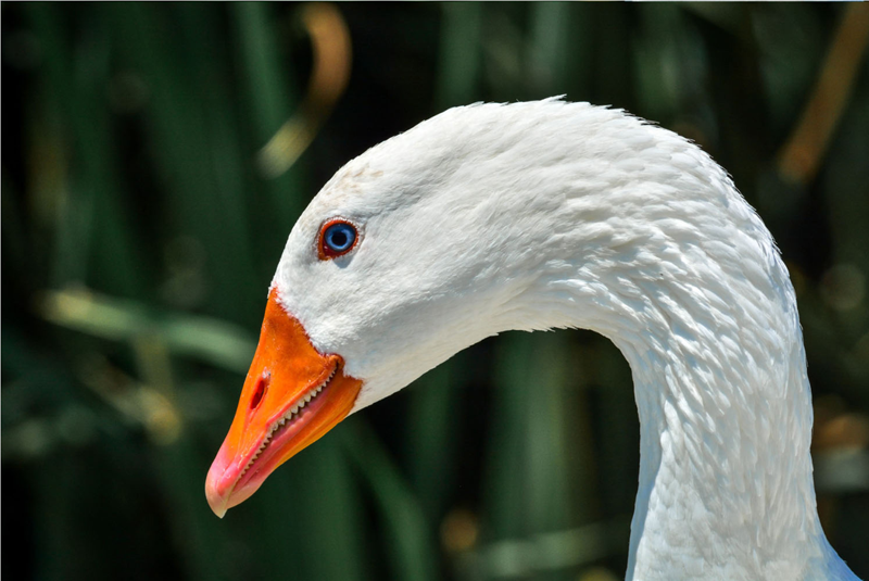 Domestic Goose Photo- Bradley Lewis