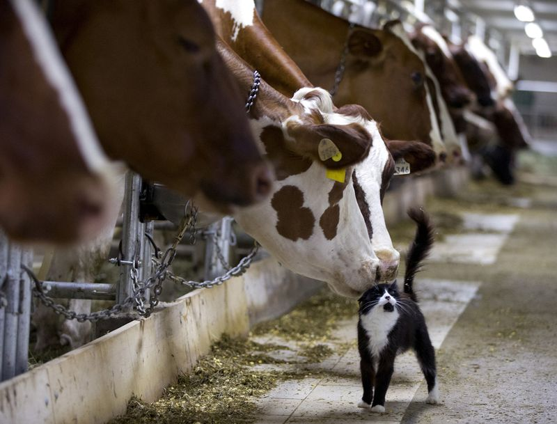 The Atlantic_Dairy_Cows_and_Barn_Cat