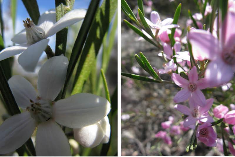 Crowea exalata waxy star flowers