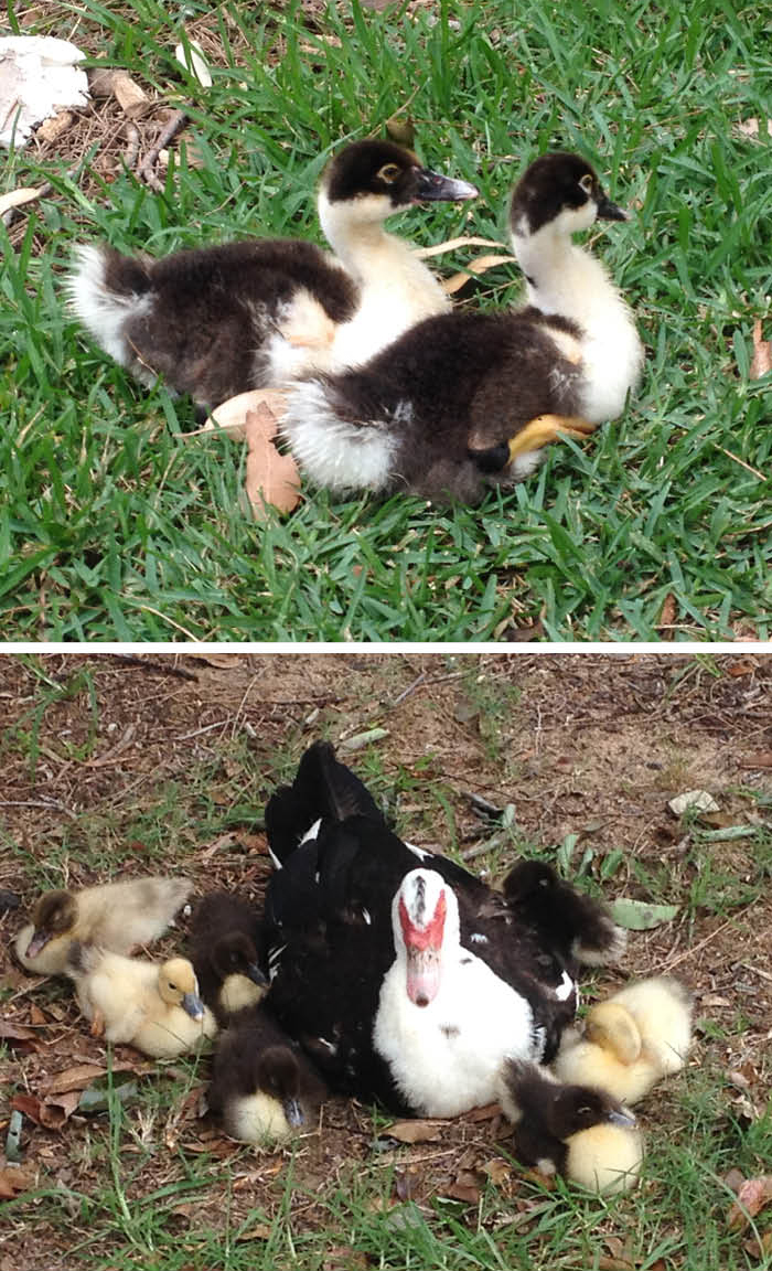 _goslings_Sydney_Matou_en_Peluche