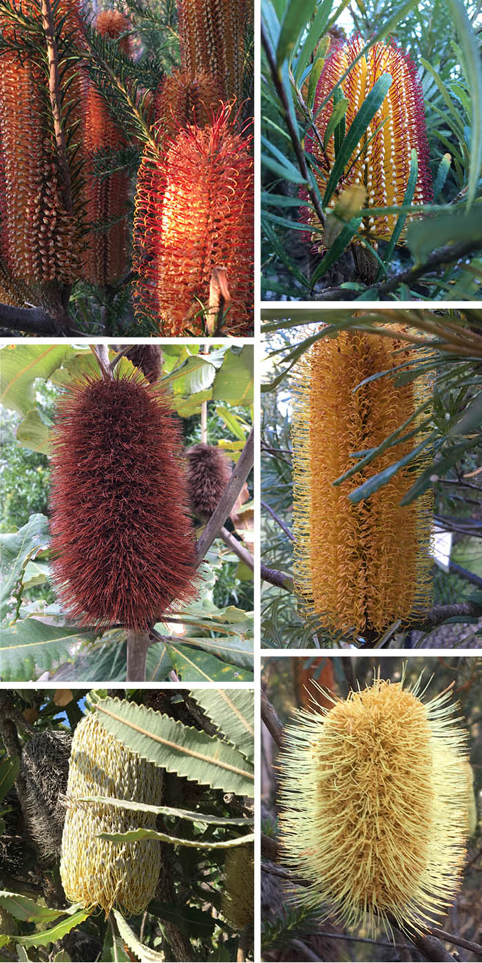 Banksia_Matou_en_Peluche