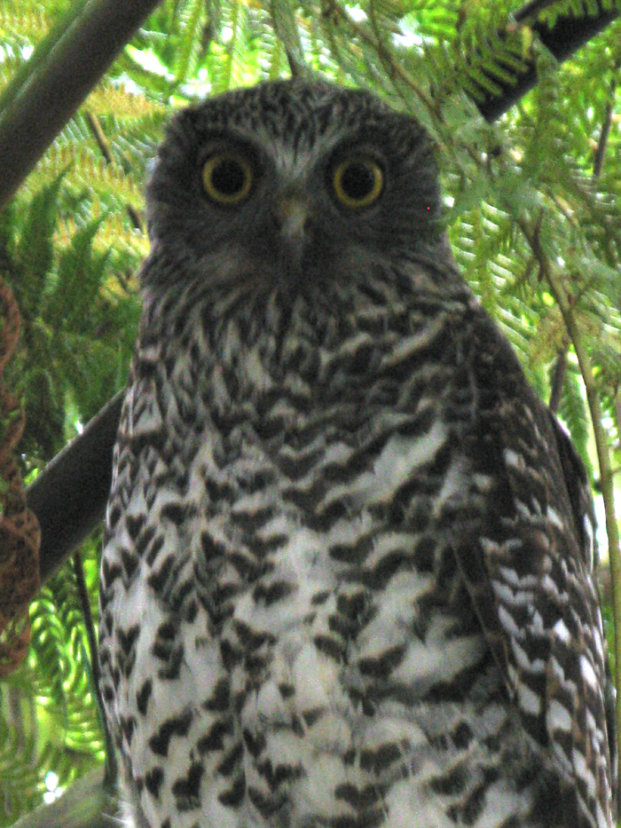 Matou_en_Peluche_Powerful_Owl