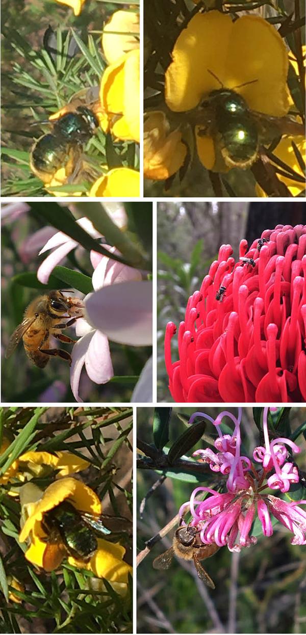 Matou_en_Peluche_Sydney_Bees